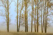Poplar trees in fog<br /> Birds Hill Provincial Park<br /> Manitoba<br /> Canada