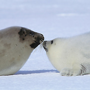 Harp Seal (Phoca groenlandica) mother and young. Canada