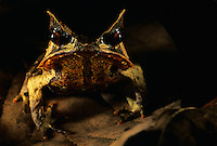 Bornean Horned Frog (Megophrys nasuta) on the rain forest floor at night..Danum Valley Conservation Area, Borneo Island, Malaysia.