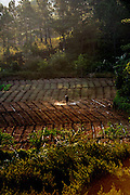 Farmer hand-spraying his seedling crop in late afternoon light. Da Lat, Vietnam