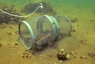 Crayfish Trap (filled with Rusty Crayfish)<br /> <br /> Engbretson Underwater Photography