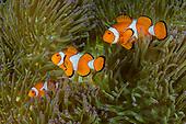 Indonesia Raja Ampat inc. Underwater