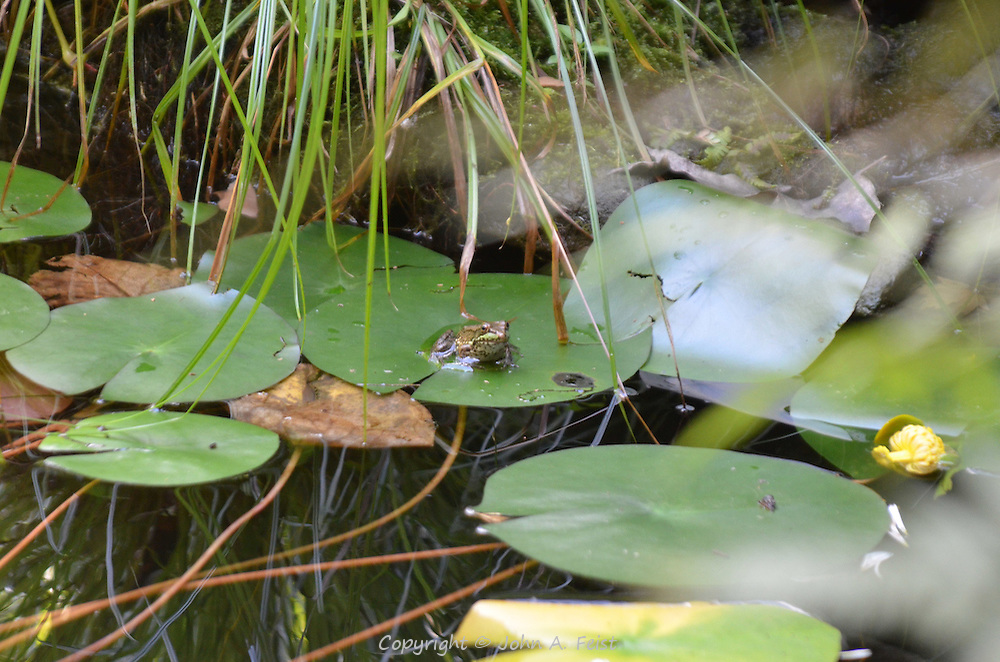 A frog sitting on a lily pad in one of the pools in the meditation temple at Omega Institute, Rhinebeck, NY