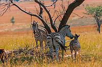 Zebras, Lion Park, near Johannesburg, South Africa.