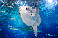 Spain, Barcelona. Aquarium Barcelona located in Port Vell. Ocean sunfish.