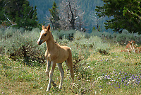 In the Pryor Mountains of Montana lives a herd of about 120 wild horses. Thought to be descendants of Spanish colonial horses, these mustangs were the first to be federally protected after nearly being removed in the late 1960's. The foal pictured here (named Renegade) was less than 4 weeks old. He is 1 of 5 foals born this year, although 2 didn't make it. This wild horse range is not easy to access. It requires a long 40-mile drive on steep, rough, and rocky dirt roads, where navigation can be tricky. It's not a place to go unprepared. After I couldn't drive any further, I walked the rest of the way since I finally spotted the herd in the distance. I counted a total of 22 horses near the top of Sykes Ridge at 8,000 feet.