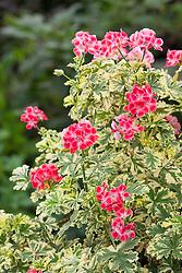 Pelargonium 'Phyllis Variegated'. Unique  pelargonium
