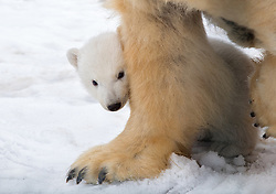 "A polar bear and her four-month-old cub are seen here leaving the maternity den and venturing into the outdoors in an impossibly cute video. The cub is the first polar bear to be born in the UK for 25 years and is now starting to explore the outdoor enclosure at the Royal Zoological Society of Scotland's Highland Wildlife Park. In the video the mother Victoria is seen walking out of the maternity den first, before her precious little cub emerges behind her keeping close to his mother. The pair are then seen foraging around in the grassy outdoor enclosure, which was witnesses by visitors at the park for the first time this week [21 March, 2018]. Previously the polar bear enclosure had been closed to the public to allow the bears the privacy required in the early weeks after birth. Una Richardson, head keeper at the RZSS Highland Wildlife Park in Kincraig near Kingussie, said, ""Having spent four months in her maternity den, Victoria quickly took the chance to go outside. ""Understandably, her cub has been more cautious and is still getting used to new sights, smells and sounds."" Douglas Richardson, the park's head of living collections, said, ""Our pioneering captive polar bear management programme closely mirrors what happens in the wild and this birth shows our approach is working. ""This is vital because a healthy and robust captive population may one day be needed to augment numbers in the wild, such are the threats to the species from climate change and human pressures. ""The reintroduction of polar bears would be an enormous task but we need to have the option. While our cub will never be in the wild, there is a chance its offspring may be in decades to come."" The birth of the cub and journey so far is also being filmed for a forthcoming Channel 4 documentary. 23 Mar 2018 Pictured: A polar bear and her cub — the first to be born in the UK in 25 years - are seen emerging from their maternity den at the Royal Zoological Society of Scotland's High"