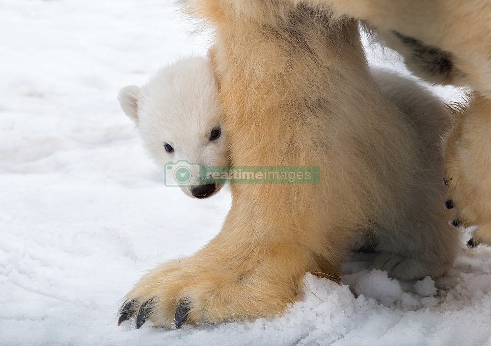 """A polar bear and her four-month-old cub are seen here leaving the maternity den and venturing into the outdoors in an impossibly cute video. The cub is the first polar bear to be born in the UK for 25 years and is now starting to explore the outdoor enclosure at the Royal Zoological Society of Scotland's Highland Wildlife Park. In the video the mother Victoria is seen walking out of the maternity den first, before her precious little cub emerges behind her keeping close to his mother. The pair are then seen foraging around in the grassy outdoor enclosure, which was witnesses by visitors at the park for the first time this week [21 March, 2018]. Previously the polar bear enclosure had been closed to the public to allow the bears the privacy required in the early weeks after birth. Una Richardson, head keeper at the RZSS Highland Wildlife Park in Kincraig near Kingussie, said, """"Having spent four months in her maternity den, Victoria quickly took the chance to go outside. """"Understandably, her cub has been more cautious and is still getting used to new sights, smells and sounds."""" Douglas Richardson, the park's head of living collections, said, """"Our pioneering captive polar bear management programme closely mirrors what happens in the wild and this birth shows our approach is working. """"This is vital because a healthy and robust captive population may one day be needed to augment numbers in the wild, such are the threats to the species from climate change and human pressures. """"The reintroduction of polar bears would be an enormous task but we need to have the option. While our cub will never be in the wild, there is a chance its offspring may be in decades to come."""" The birth of the cub and journey so far is also being filmed for a forthcoming Channel 4 documentary. 23 Mar 2018 Pictured: A polar bear and her cub — the first to be born in the UK in 25 years - are seen emerging from their maternity den at the Royal Zoological Society of Scotland's High"""