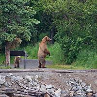 USA, Alaska, Katmai. Grizzly sow and cub near partk sign.