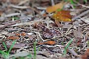 Juvenile Copperhead snake