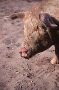 AT5BTB Free range pig production Iken Suffolk England