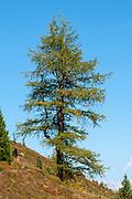 Pine tree Photographed on Elfer Mountain, Stubai Valley, Tyrol, Austria in September