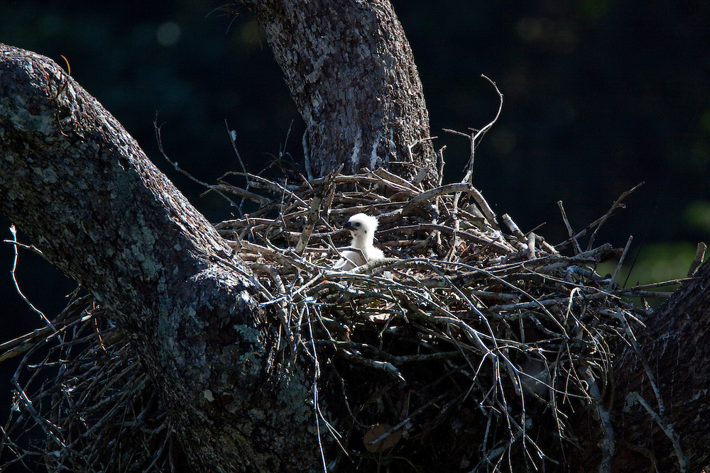 Parauapebas_PA, Brazil.<br /> <br /> An one month old Harpy Eagle chickin the nest.<br /> <br /> Carajas National Forest, Para, Brazil. <br /> <br /> Foto: JOAO MARCOS ROSA / NITRO