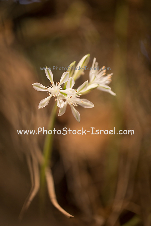 Close up of a flowering Pancratium parviflorum (also Vagaria parviflora) Common name is small flower daffodil. A bulbous genus in the Amaryllidaceae family Flowers in Autumn. Photographed in September in Israel