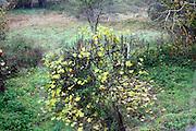 fig tree bush uring autumn season