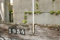 Muurvaren, Asplenium ruta-muraria