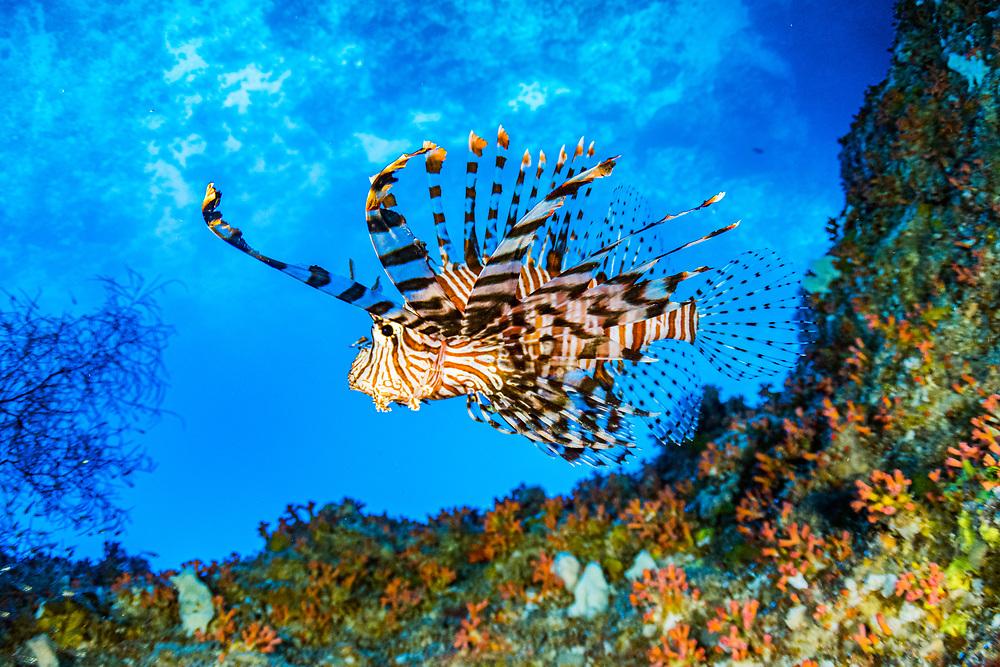 Red lionfish (Pterois volitans) swimming under a coral ledge (Image upsidedown). Palau.