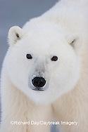 01874-106.11 Polar Bear (Ursus maritimus) Churchill, MB Canada