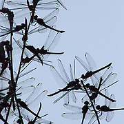 Dragonflies gathered together on a bush at dusk, Seven Wells Waterfall, Langkawi Island, Malaysia.
