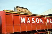 Loading onions onto lorry trailer for transport, Shottisham, Suffolk, England