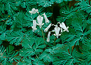 Dutchman's breeches, Dicentra cucullaria, blooming on hardwood forest floor near the Green River, Mammoth Cave National Park, Kentucky.