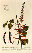 Coloured Copperplate engraving of a corallodendron (Erythrina) from hortus nitidissimus by Christoph Jakob Trew (Nuremberg 1750-1792)