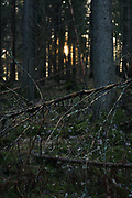 Setting sun behind dead spruce in forest undergrowth, forests around River Amata, near Skujene, Latvia Ⓒ Davis Ulands | davisulands.com