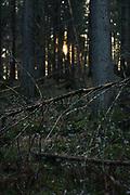 Setting sun behind dead spruce in forest undergrowth, forests around River Amata, near Skujene, Latvia Ⓒ Davis Ulands | davisulands.com
