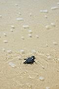 Israel, beach, Chelonia mydas, green turtle after hatching on their maiden voyage to the Mediterranean Sea September 2007.