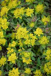 Euphorbia polychroma - Many-coloured spurge