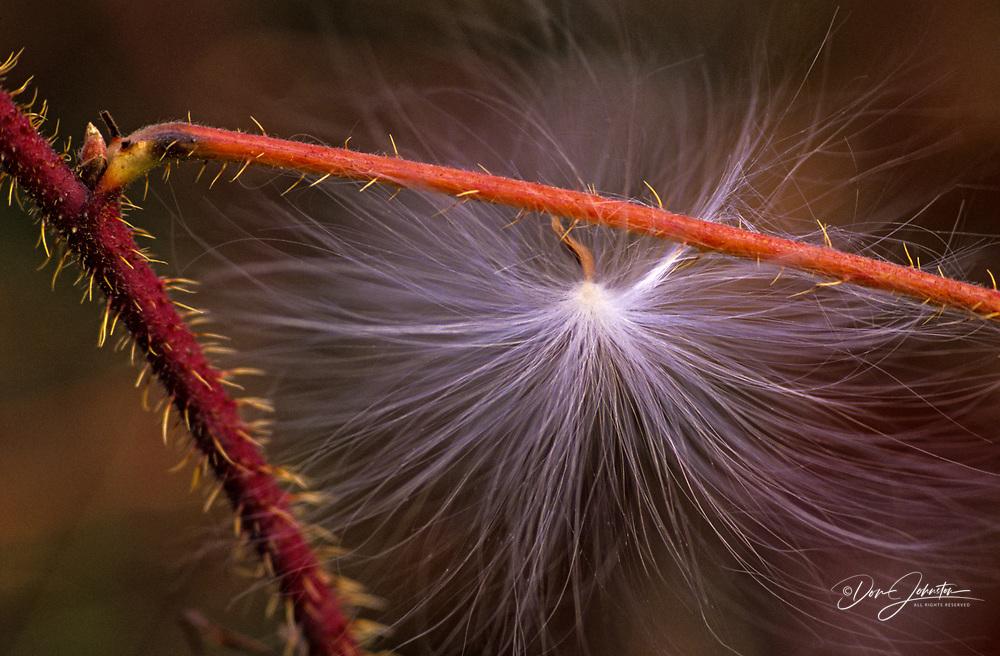Milkweed seed clinging to raspberry twig, Shawanaga First Nation, Ontario, Canada