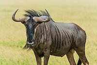 Blue wildebeest (gnu), Nxai Pan National Park, Botswana.