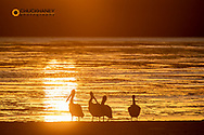 White pelicans silhouetted at sunset at Ding Darling National Wildlife Refuge in Sanibel Island, Florida, USA