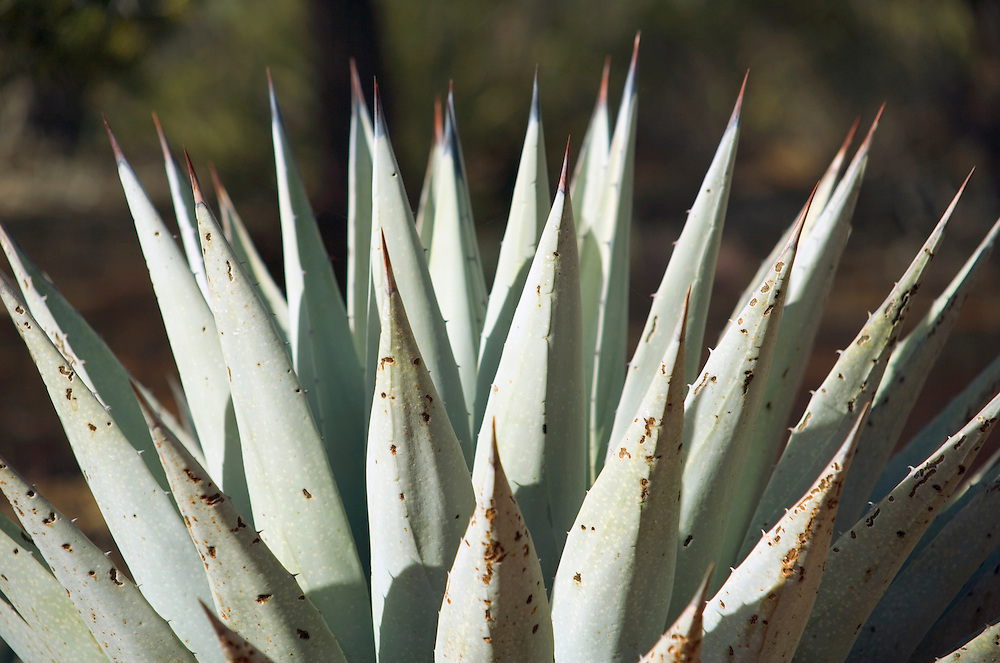 Century Plant also known as Agave Sedona Arizona USA&#xA;<br />