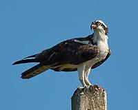 Osprey (Pandion haliaetus). Fort De Soto Park. Pinellas County, Florida. Image taken with a Nikon D2xs camera and 80-400 mm VR lens.