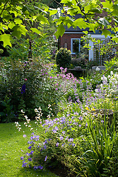 Looking down the garden towards the house framed by the leaves of the tulip tree - Liriodendron tulipifera. Early summer border with Geranium 'Johnson's Blue' and Libertia grandiflora in the foreground.