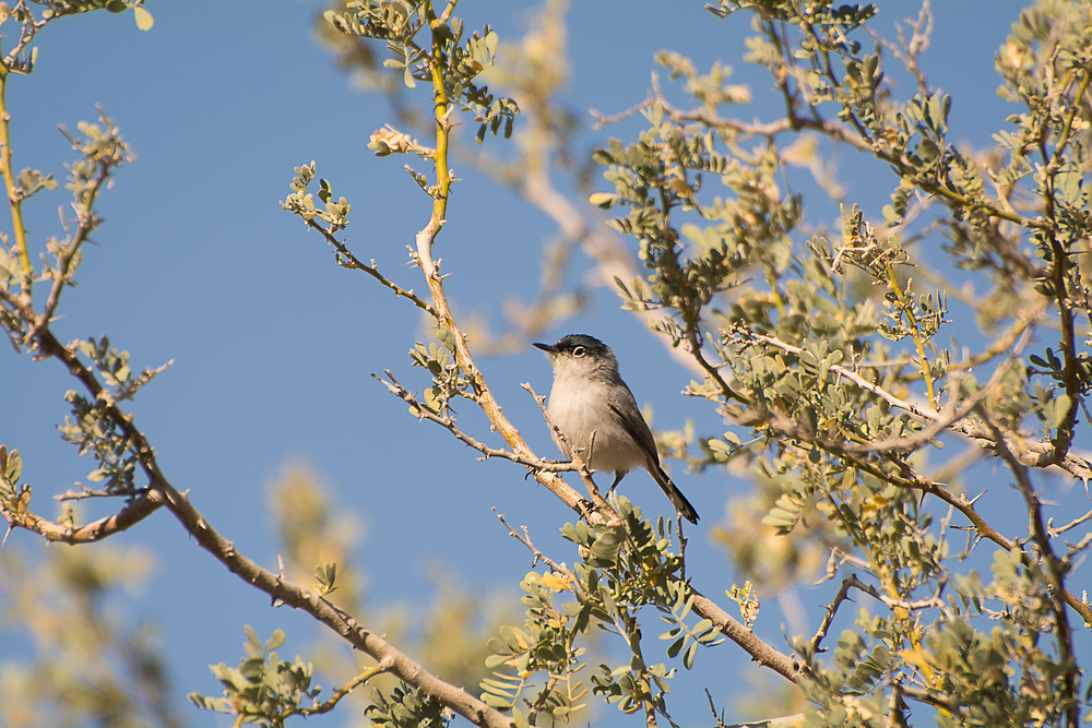 Native to the deserts of the American Southwest and northern Mexico, these tiny, noisy relatives of the wrens are completely at home in the driest of deserts where they make their living among the mesquite and cacti and feeding on spiders and insects. This black-tailed gnatcatcher was found in the Organ Pipe Cactus National Monument within sight of the Mexican border in Arizona.