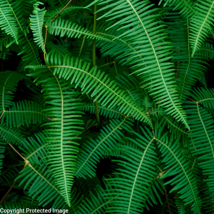 I love the hodge-podge nature of these Hawaiian cousins of our more orderly northwestern ferns.