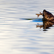 A river otter swims away with a rainbow trout while fishing in the Oxbow area of Grand Teton National Park, Wyoming.