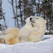 Polar Bear (Ursus maritimus) mother with her cub.
