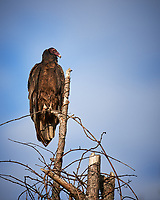 Turkey Vulture. Image taken with a Nikon D4 camera and 600 mm f/4 VR lens.