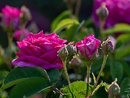 Rosa, a deep pink rose at Chiswick House Gardens, Chiswick House, Chiswick, London, UK
