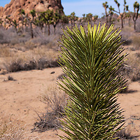 USA, California, Joshua Tree. Palm Tree Yucca, Joshua Tree.