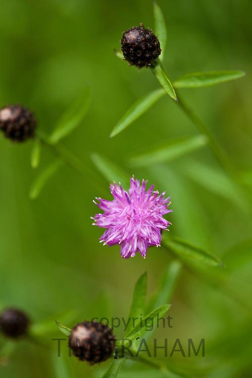 Thistle wildflower in pastureland, UK