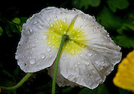 Raindrops balance delicately on the white and yellow petals of a poppy flower, bent beneath the weight of the water