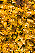 Bright golden colour of autumn beech tree leaves on forest floor