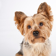 20110425 Yorkies/Smaller Dogs