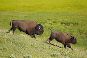 Bull bison chasing cow during the rut in Yellowstone National Park