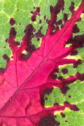 Close-up creative abstract of a coleus leaf showing the dramatic splash of briiliant red colour against the green. Also know as solenostemon flame nettle and painted nettle. Garden Norfolk